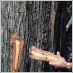 タヒボ樹皮画像
