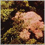 タヒボ花画像