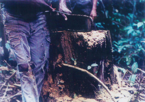 タヒボの原木を切る様子